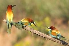 Gruccioni comuni (Merops apiaster) - Parco naturale di Persina, Bulgaria
