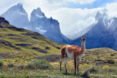 Guanaco patagonico nel Parco Nazionale Torres del Paine (Cile)